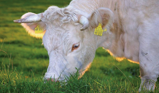 Kuh beim Grasen